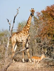 Giraffe in Kruger Park