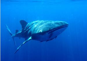 Zwemmen met een walvishaai.